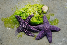 Two Purple Starfish On Seaweed...