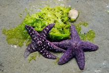 Two Purple Starfish On Seaweed...