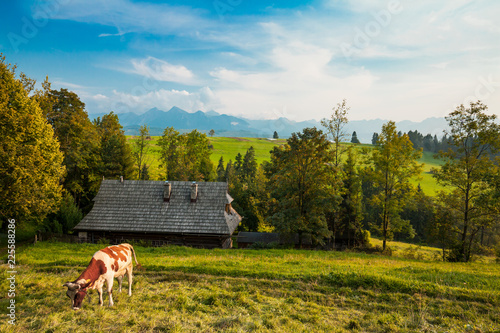Traditional grazing cows in Pieniny highland, wooden house and Tatra mountains on background