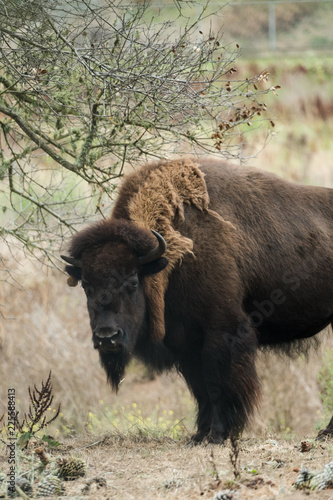 Spoed Foto op Canvas Bison American Buffalo (Bison) in San Francisco