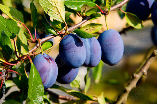 branch with ripe plums in german autumn orchard