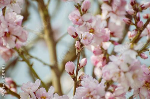 Photo  Almond Spring Blossom