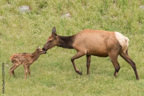 Photo Elk kiss