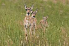 Three Pronghorn Fawns