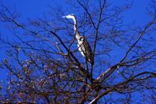 Heron In Treetop