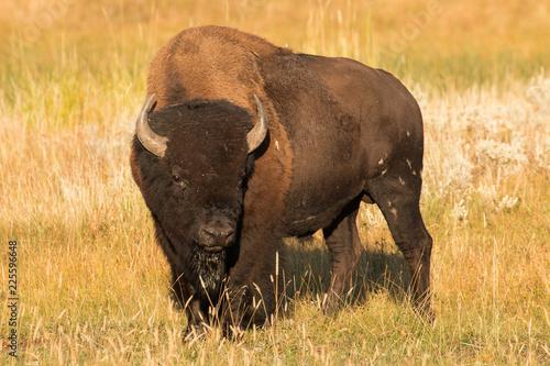 Staande foto Buffel Bull bison at sunrise