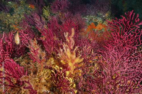 Gorgonian soft coral underwater in the Mediterranean sea, violescent sea-whip Paramuricea clavata, Cap de Creus, Costa Brava, Spain