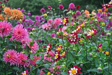 Colorful dahlias garden in late summer