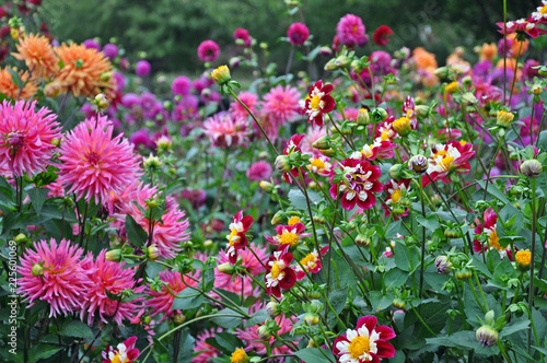 Foto Colorful dahlias garden in late summer