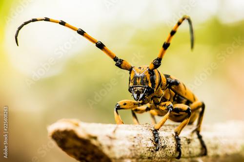 aprirona swainsoni beetle climbing on tree