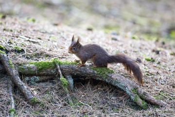 Naklejka na ściany i meble Red Squirrel