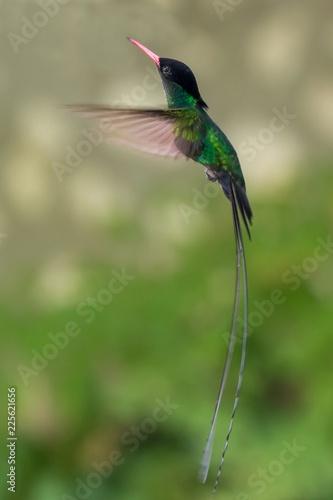 Obraz na płótnie Jamaica's National Bird - Doctor Bird Hummingbird