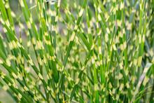 Close Up Of Ornamental Grass Miscanthus Sinensis Zebrinus