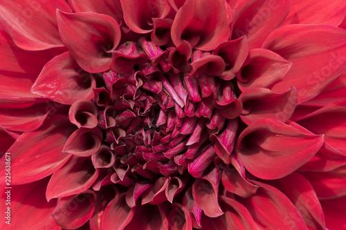 Makroaufnahme einer dunkelroten Dahlienblüte