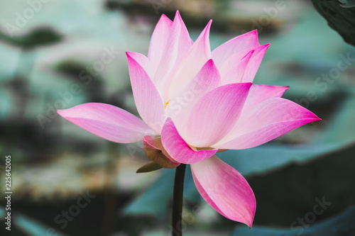 Staande foto Lotusbloem Beautiful Pink Lotus Flower . Close focus with green leaf in in pond, deep blue water surface