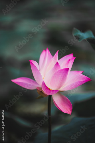 Foto op Canvas Lotusbloem Beautiful Pink Lotus Flower . Close focus with green leaf in in pond, deep blue water surface