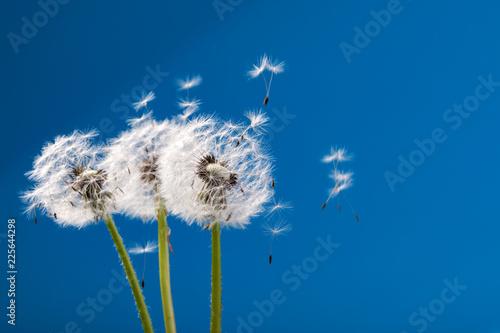 Foto op Canvas Paardebloem dandelion