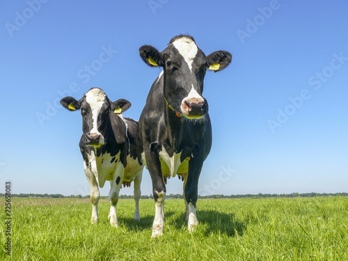 Carta da parati Two black and white cows,frisian holstein, standing in a pasture under a blue sky and a faraway straight horizon