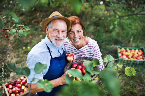 Foto A senior couple picking apples in orchard in autumn.