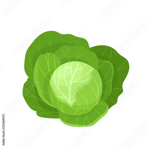 Bright vector illustration of colorful cabbage isolated on white background Poster Mural XXL