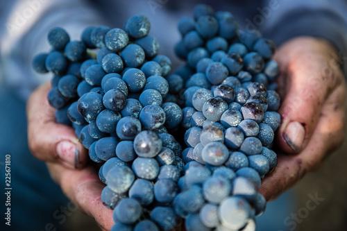 Carta da parati  Mani agricoltore con uva