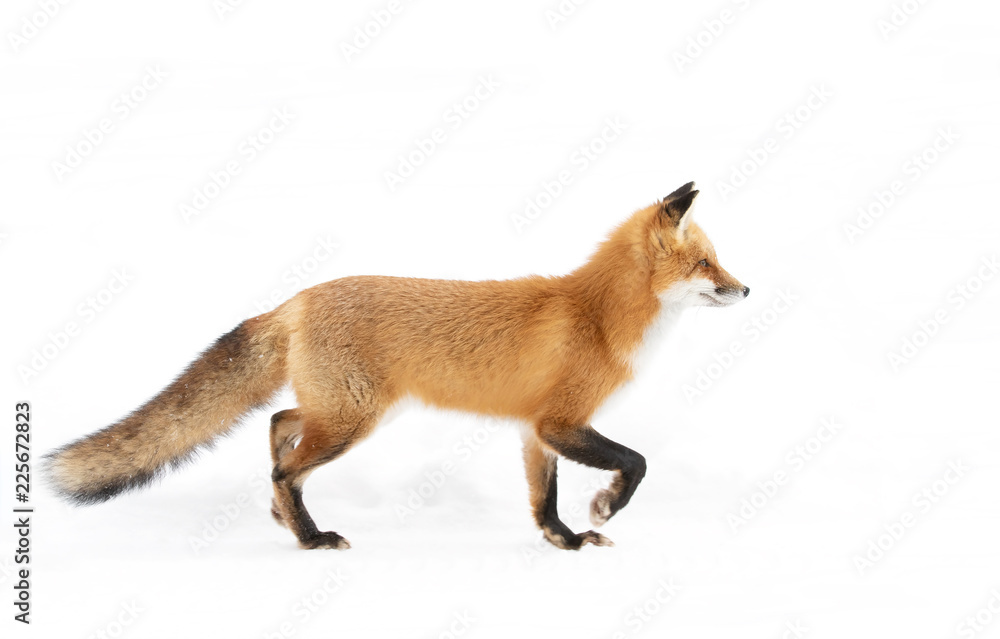 Fototapety, obrazy: Red fox (Vulpes vulpes) with a bushy tail  isolated on white background hunting through the freshly fallen snow in winter in Algonquin Park, Canada
