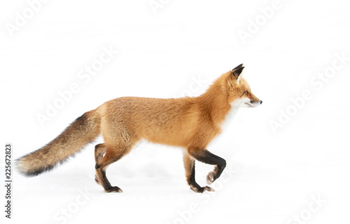 Red fox (Vulpes vulpes) with a bushy tail  isolated on white background hunting Wallpaper Mural