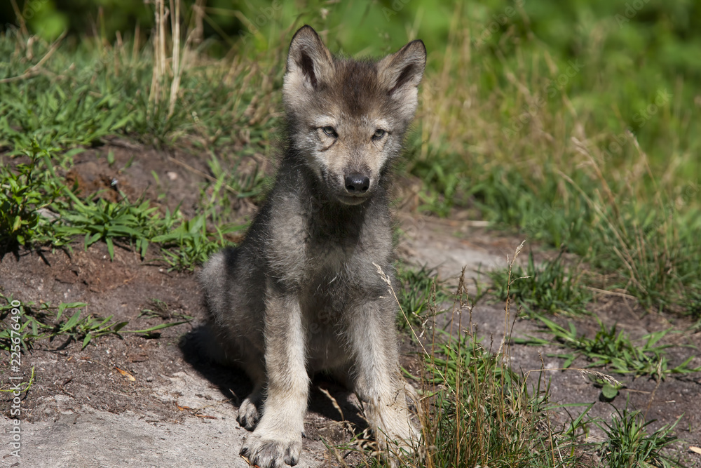 A lone Arctic wolf (Canis lupus arctos) pup standing on a rocky cliff in summer in Canada