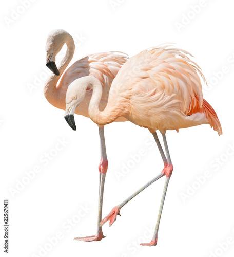 isolated on white two flamingo