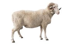 White Ram Isolated