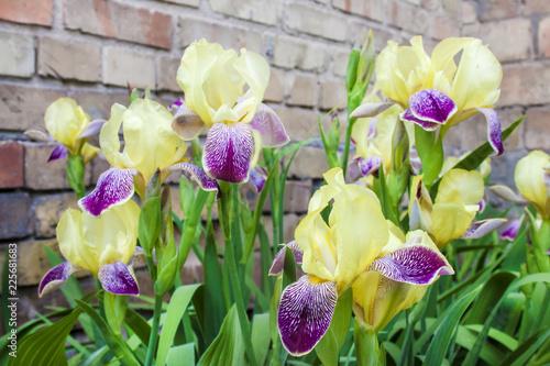 Purple and yellow cultivar iris flowers closeup