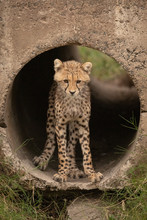 Cheetah Cub Looking Down Stands In Pipe