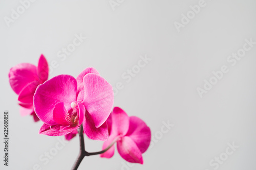 pink orchid flower, close-up view