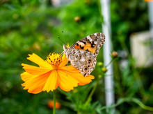 Painted Lady Butterfly On A Cosmos Flower 3