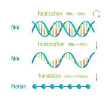 DNA Replication, Transcription And Translation