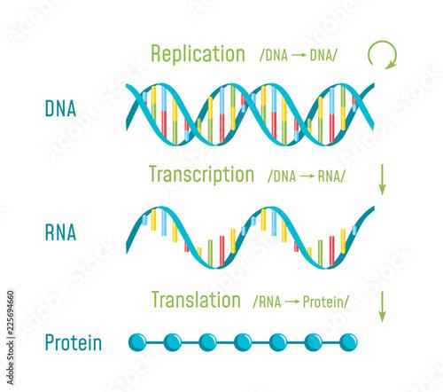 DNA Replication, Transcription and Translation Canvas Print