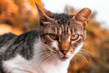 Croatian Wild Cat