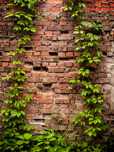 Wall Covered With Green Leaves Of Wild Grape. Brick Wall Texture With Ivy. Natural Background.
