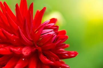Rote Semi Kaktus Dahlie (Doris Day) an einem Morgen im Spätsommer.