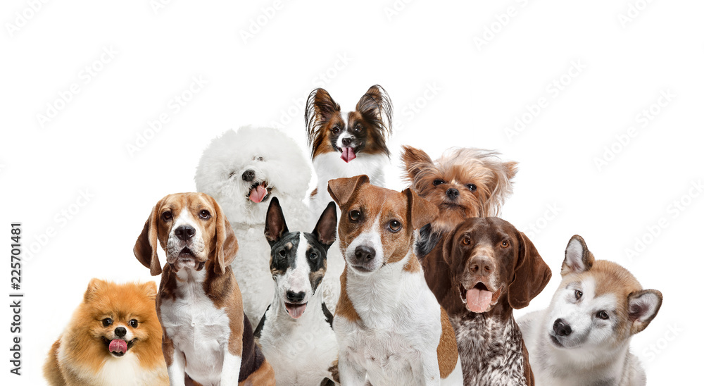 Differents dogs looking at camera isolated on a white studio background. Collage
