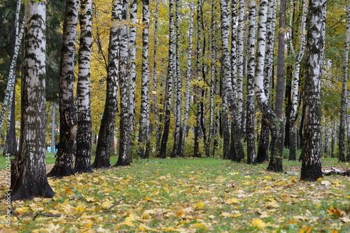 Foto op Plexiglas Berkbosje Autumn birch trees as a backdrop for theatrical performances