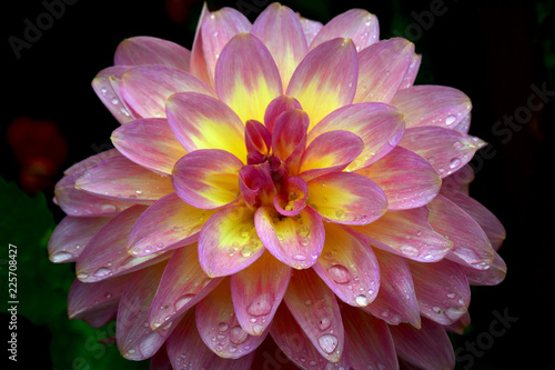 Close up of pink and yellow dahlia flower on black background