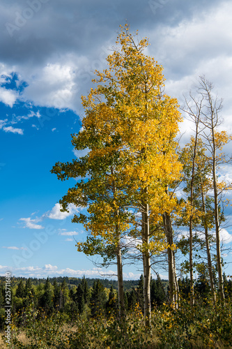 Foto op Canvas Herfst Autumn scene of an aspen grove with foliage turning golden yellow under a brilliant blue sky and white clouds