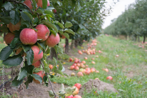 Orchard view with windfall of apples and a cluster of ripe red apples at the foreground