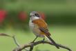 Burmese Shrike, Chestnut-backed Shrike