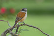 Beautiful birds in Thailand (Burmese Shrike, Chestnut-backed Shrike)