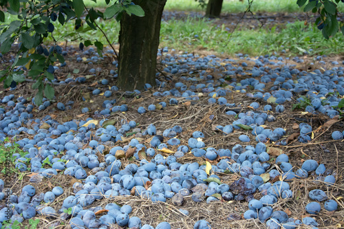 Windfall of blue common plums lying on the ground under a plum tree