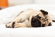 Cute Pug Dog Breed Lying On White Bed And Blanket In Bedroom Smile With Funny Face And Feeling So Happiness After Wake Up In The Morning