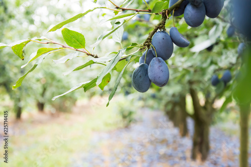 A twig with  ripe common plums and leaves, windfall plums at the background - orchard