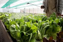 Farmworker Spraying Green Leaves Of Lettuce